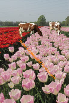 Cows and Tulips poster