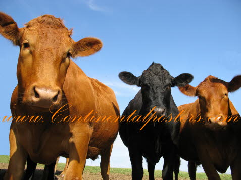 Cornwall Cows poster