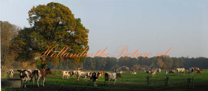 Dutch cows panorama Autumn